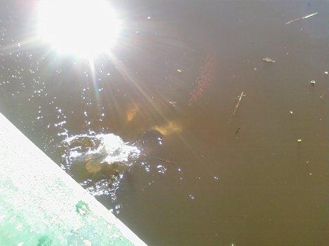 ピラルク釣り